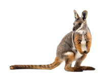 Yellow-footed Rock-wallaby, Pe...