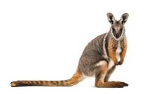 Yellow-footed Rock-wallaby, Petrogale Xanthopus, Kangaroo