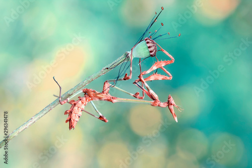 Papiers peints Papillon Close up of pair of Beautiful European mantis ( Mantis religiosa )