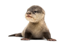 Baby Asian Small-clawed Otter, Amblonyx Cinerea, Also Known As T