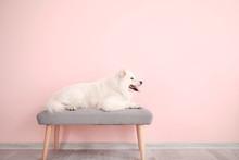 Cute Samoyed Dog Lying On Benc...