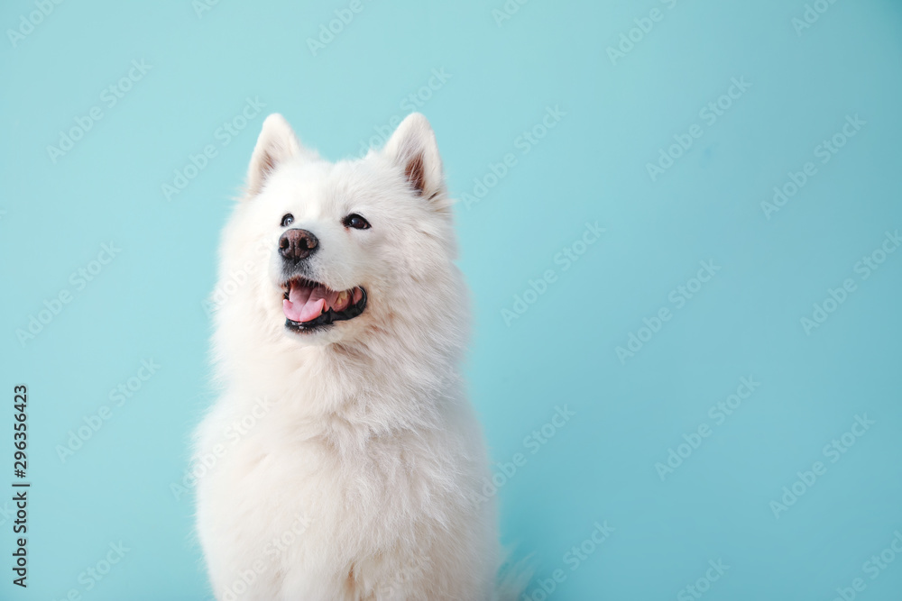 Fototapeta Cute Samoyed dog on color background