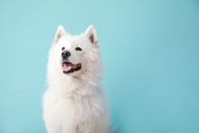 Cute Samoyed Dog On Color Back...