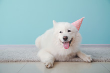 Cute Samoyed Dog In Party Hat Lying On Floor Near Color Wall