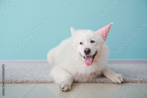 Obraz Cute Samoyed dog in party hat lying on floor near color wall - fototapety do salonu