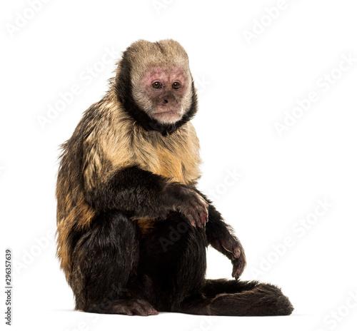 Fotografija Golden-Bellied Capuchin, Sapajus xanthosternos