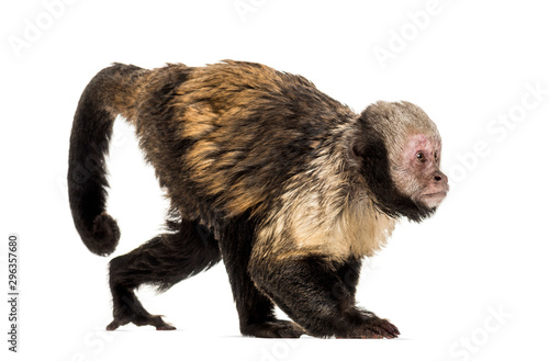 Photo Golden-Bellied Capuchin, Sapajus xanthosternos