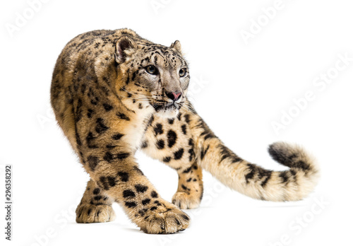 Snow leopard, Panthera uncia, also known as the ounce Wallpaper Mural
