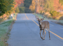 White Tailed Deer Buck Walking On Road