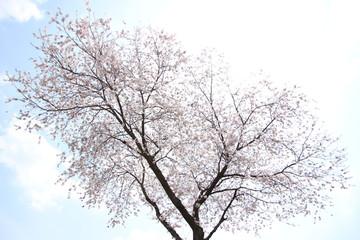 Panel Szklany Do sypialni ふくふく地蔵の桜