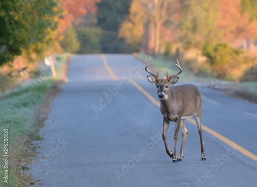 White tailed deer buck walking on road