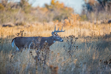 White-tailed Deer In Rut In Au...