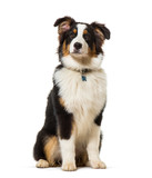 Fototapeta Zwierzęta - Australian shepherd sitting against white background