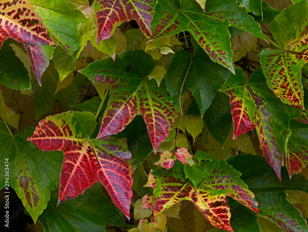Autumn colours of the Parthenocissus tricuspidata climbing on a garden wall