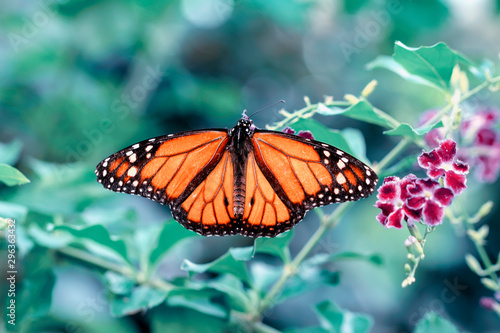 Photo sur Aluminium Papillon Monarch, Danaus plexippus is a milkweed butterfly (subfamily Danainae) in the family Nymphalidae