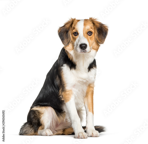 Fotomural  Mixed-breed with a border collie sitting isolated on white
