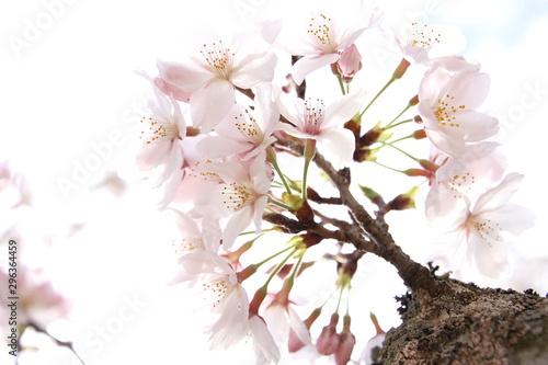 Fotografie, Obraz  ふくふく地蔵の桜