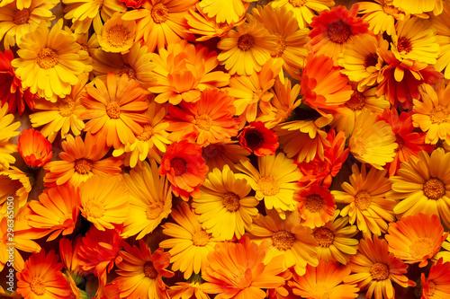 Fotomural Calendula officinalis, the pot marigold, ruddles, common marigold or Scotch marigold