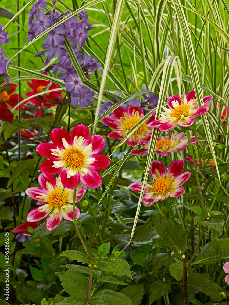 Colourful Dahlia Night Buttefly in a flower border