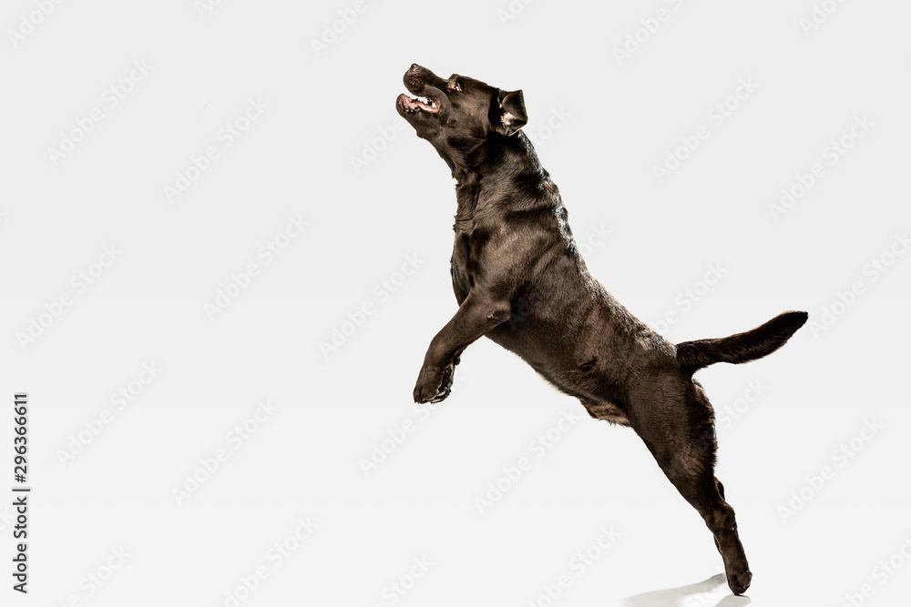 Jump high as he can. Chocolate labrador retriever dog in the studio. Indoor shot of young pet. Funny puppy over white background.