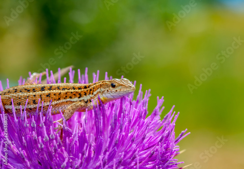 Photo sur Aluminium Papillon Beautiful lizard - Stock Image