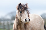 portrait of a horse beautiful dunn pony with a blue eye looking at the camera