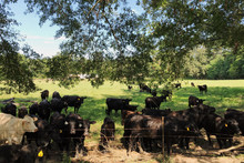 Herds Of Cows In Farm