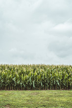 View Of Corn Field