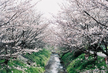 Full Bloom Of Cherry Blossom A...