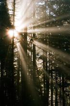 Woods In Beams Of Sunrays