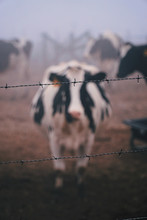 View Of A Cow Behind Barbed Wire
