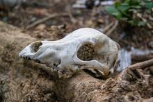 Close Up Of Animal Skull On Log