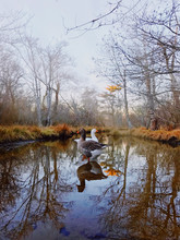 Pair Of  Geese Standing In Water In Autumn