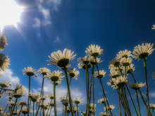 Low Angle View Of Oxeye Daisy ...