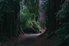 Path Through Giant Redwood Trees
