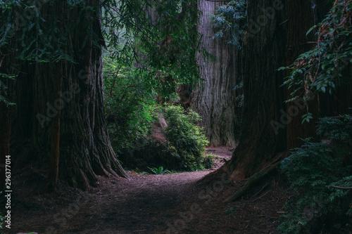 Path through giant redwood trees - 296377014