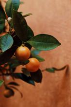 Close Up Of Mandarins Growing On Plant