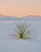 Single Grass Plant Growing In White Sands National Monument, United States