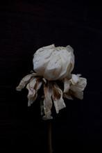 Dry White Peony Flower