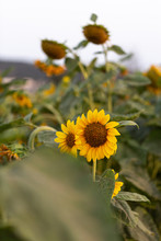 Group Of Sunflowers In A Field