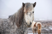 The Icelandic Horse Is A Breed Of Horse Developed In Iceland. Although The Horses Are Small, At Times Pony-sized, Most Registries