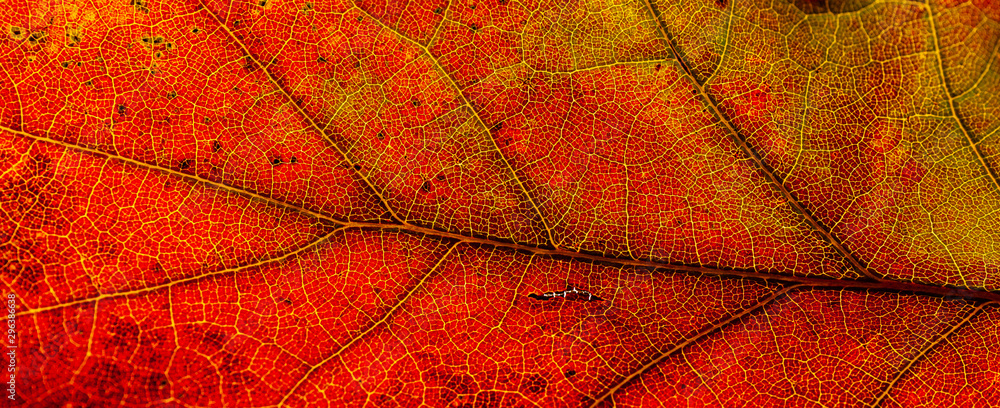 Fototapety, obrazy: Red and yellow leaves macro, veins on transparent leave. Golden autumn.