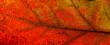 Leinwandbild Motiv Red and yellow leaves macro, veins on transparent leave. Golden autumn.