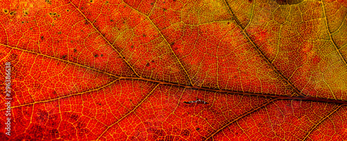 Fotobehang Bomen Red and yellow leaves macro, veins on transparent leave. Golden autumn.