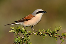 Male Of Red-backed Shrike, Lan...