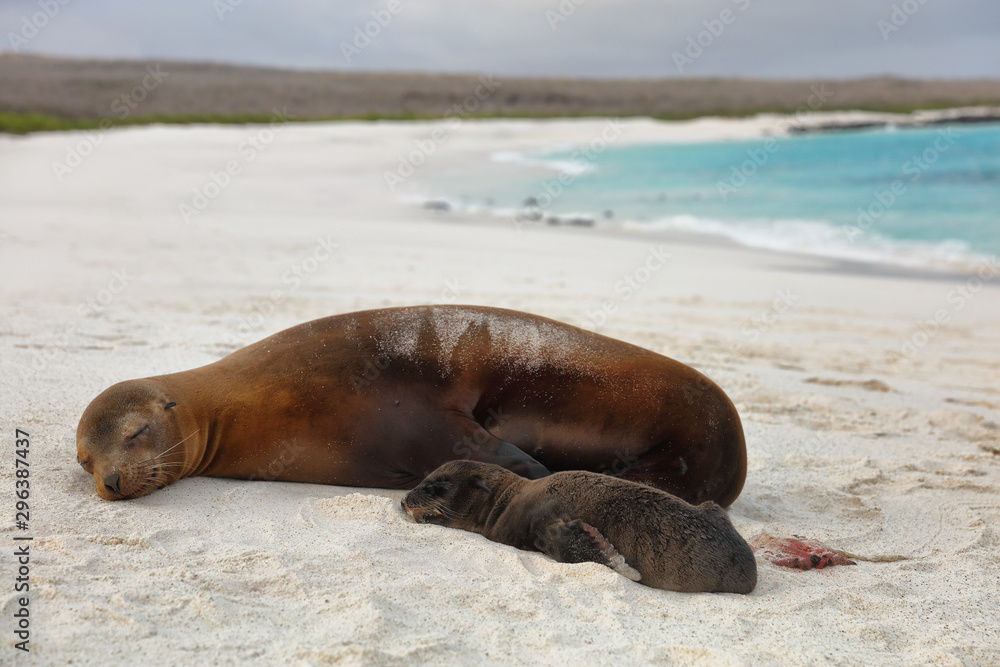 Galapagos islands animals. Newborn baby sea lion pup right after birth next to mother sea lion. Galapagos island cruise ship excursion Gardner Bay Beach, Espanola Island, Galapagos Islands, Ecuador.