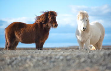 The Icelandic horse is a br...