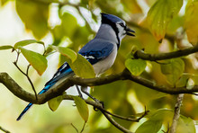 A Young Male Blue Jay Enjoying Fall Leaves