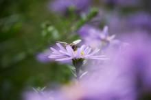 Schwebefliege Und Herbstaster