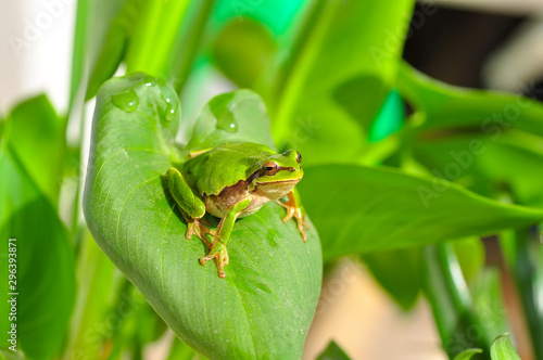 Photo sur Aluminium Papillon Beautiful Europaean Tree frog Hyla arborea - Stock Image